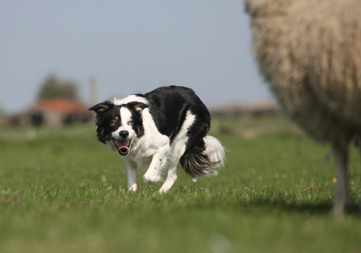 Sheepdog Training Clinic August 1st